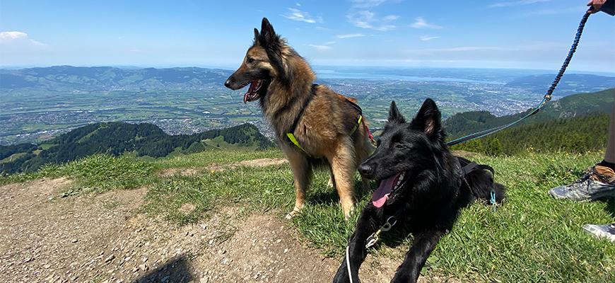 Zwei belgische Schäferhunde am Gipfel.