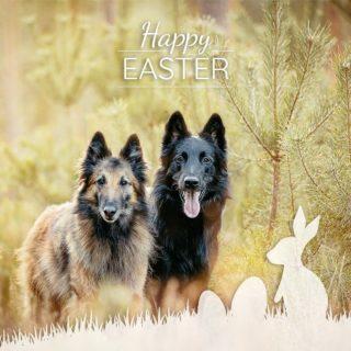Frohe Ostern Euch allen 🐰🌷  Wir hoffen, Ihr hattet ein paar erholsame und sonnige Feiertage. 🥰 . . . #tervueren #groenendael #workinggroenendael #belgianshepherd #belgischerschäferhund #dogphotography #hundefotos #hundefotografie #lightloovers #hundesport #workingdog #dogsofinstagram #dogstagram